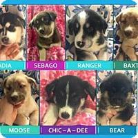 Adopt A Pet :: MAINE PUPPIES - Powder Springs, GA