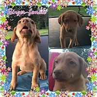 Adopt A Pet :: Ginger meet me 6/24 - Manchester, CT