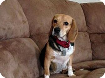 Beagle Dog for adoption in Island Heights, New Jersey - Holly