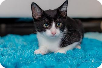 Domestic Shorthair Kitten for adoption in Houston, Texas - Frankie