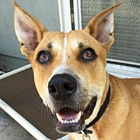 Labrador Retriever/Shepherd (Unknown Type) Mix Dog for adoption in Sunnyvale, California - Scout