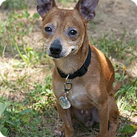 Chihuahua Mix Dog for adoption in Bowie, Maryland - Chilli