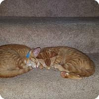 Domestic Shorthair Kitten for adoption in Chesapeake, Virginia - Yoshi