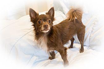 Chihuahua/Pomeranian Mix Dog for adoption in Santa Clara, California - Louie-ADOPTED!