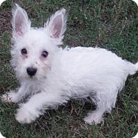 Adopt A Pet :: Chase - Alpharetta, GA