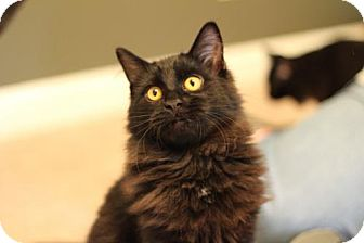 Domestic Shorthair Cat for adoption in Franklin, Tennessee - JASPER