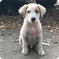 Adopt A Pet :: Dom - Houston, TX
