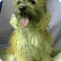 Cairn Terrier Mix Dog for adoption in Seattle, Washington - Vangie Bean