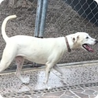 Labrador Retriever Mix Dog for adoption in Penngrove, California - Donna