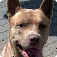 Adopt A Pet :: Sampson - Garden City, MI