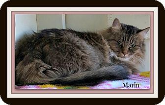 Domestic Longhair Cat for adoption in Tombstone, Arizona - Marin