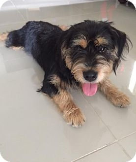 Terrier (Unknown Type, Medium) Mix Dog for adoption in Fort Lauderdale, Florida - Buster Henry
