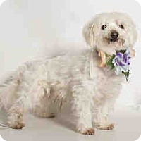 Adopt A Pet :: Galilei, Beautiful Maltese - Corona, CA