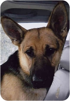 German Shepherd Dog Dog for adoption in Owatonna, Minnesota - Chief