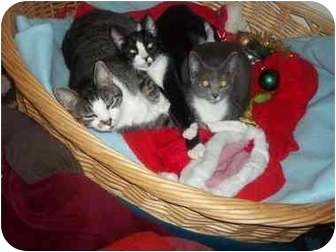 Domestic Shorthair Kitten for adoption in Little Neck, New York - home 4 xmas