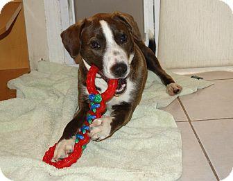 Boxer/Hound (Unknown Type) Mix Dog for adoption in North Brunswick, New Jersey - Mischa
