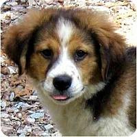 Adopt A Pet :: SHEEBA - Wakefield, RI