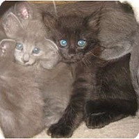 Adopt A Pet :: Sergei - Dallas, TX