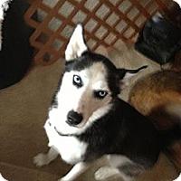 Adopt A Pet :: Bella - Elkhart, IN