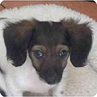 Adopt A Pet :: Spaetzle - Phoenix, AZ