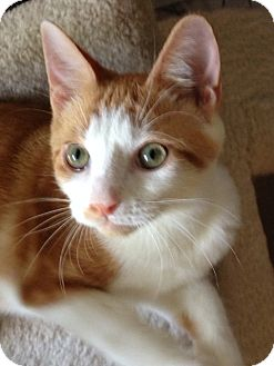 Domestic Shorthair Cat for adoption in Newtown Square, Pennsylvania - Pete