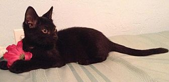 Bombay Cat for adoption in Sarasota, Florida - Louise