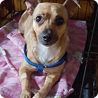 Adopt A Pet :: Rocky - Manhattan, NY