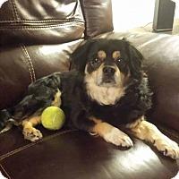 Adopt A Pet :: Berstein - Windermere, FL