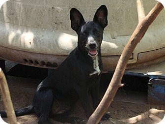 Golden Retriever Mix Puppy for adoption in Blanchard, Oklahoma - Iris