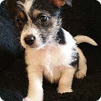 Adopt A Pet :: Stevie-Fostered in KC - Bridgeton, MO