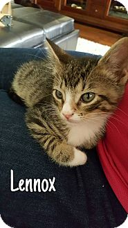 Domestic Mediumhair Kitten for adoption in Tega Cay, South Carolina - Lennox