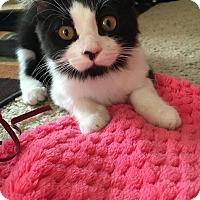 Domestic Mediumhair Kitten for adoption in Los Angeles, California - Jezebel