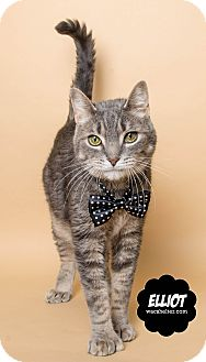 Domestic Shorthair Cat for adoption in Wyandotte, Michigan - Elliot