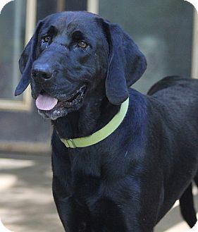 Labrador Retriever Dog for adoption in Falls Church, Virginia - Natty