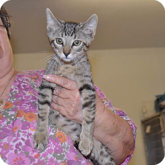 Domestic Shorthair Kitten for adoption in Sunrise Beach, Missouri - Toby Keith