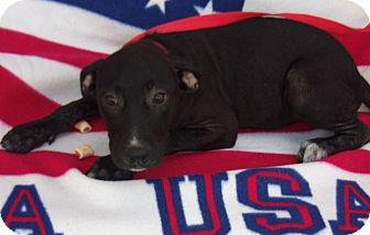 Labrador Retriever/Great Pyrenees Mix Puppy for adoption in Jacksonville, Texas - Rylie