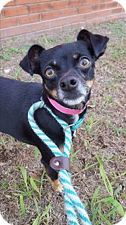 Chihuahua Mix Dog for adoption in Dallas, Texas - Baby