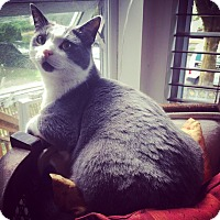 Domestic Shorthair Cat for adoption in Vancouver, British Columbia - Buchanan