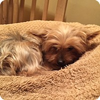 Yorkie, Yorkshire Terrier Dog for adoption in N. Babylon, New York - Sparkie