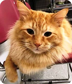 Domestic Mediumhair Cat for adoption in Kalamazoo, Michigan - Bruce Wayne