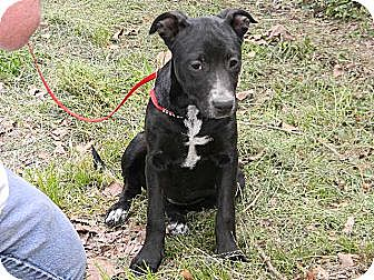 Labrador Retriever/Australian Cattle Dog Mix Dog for adoption in Baton Rouge, Louisiana - Dolly