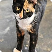 Calico Cat for adoption in Jackson, Mississippi - Trouble