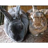 Adopt A Pet :: Van Rex and Gloria Van der Bun - Williston, FL