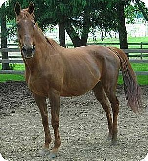 Thoroughbred Mix for adoption in Woodstock, Illinois - Sinfully Rich