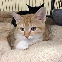 Domestic Shorthair Kitten for adoption in Miami, Florida - Pumpkin