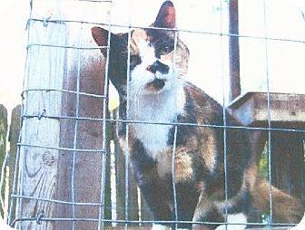 Calico Cat for adoption in Harrisonburg, Virginia - Snookie