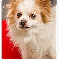 Adopt A Pet :: Poppy - Owensboro, KY