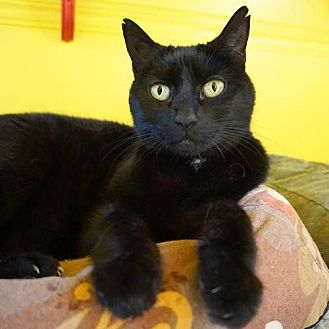 Domestic Shorthair Cat for adoption in Alameda, California - Lucy Lou