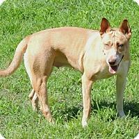 Adopt A Pet :: Valerie - Joplin, MO
