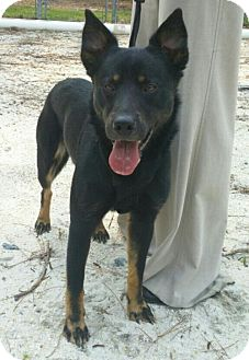 German Shepherd Dog Mix Dog for adoption in Morrisville, North Carolina - Jim Bob